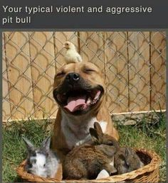 pit bulls. big sweeties:)