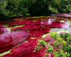 blogAuriMartini: Caño Cristales - O rio que fugiu do paraíso