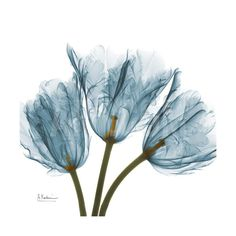 Tulips Blue Premium Giclee Print by Albert Koetsier at Art.com