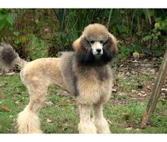 """""""standard poodle puppies"""" - Google Search"""