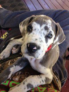 Great Dane Phury Americana Dog Imagery Bundle Of Paws