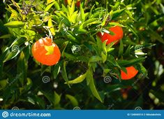 Photo about Some mandarin oranges hanging from my garden`s mandarin tree. Image of ecological, tangerine, superfood - 134846914