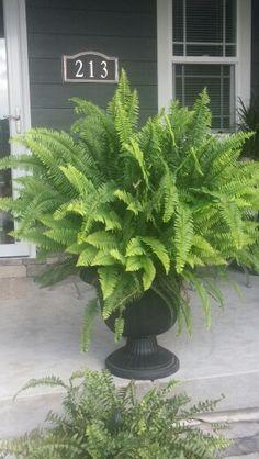 My ferns....