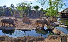 Rinocerontes refrescándose en la ría de la Sabana africana - BIOPARC  Valencia