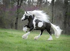 Gypsy Vanner Stallion at Stud in Virginia. This is my all time favorite horse breed. Along with the paint horses. Most Beautiful Horses, All The Pretty Horses, Animals Beautiful, Cute Animals, Stunningly Beautiful, Horse Pictures, Animal Pictures, Funny Pictures, Horse Photos