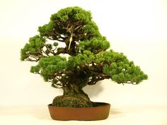 "I introduce ""Bonsai"" of middle size (35cm - 49cm)."