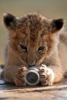 """lalulutres: """"Lion Cub by _lostintranslation on Flickr """""""
