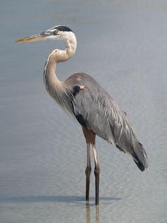 Great Blue Heron, St. Petersburg, Florida, USA, June 29, 2012
