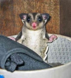 sugar-glider-0026 (16 pieces) Funny Animal Pictures, Funny Animals, Cute Animals, Animal Pics, Japanese Dwarf Flying Squirrel, Sugar Bears, Sugar Sugar, Easy Pets, Paws And Claws