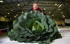 The competition: Derek Neumann from Sheffield with his Cornish Giant Cabbage