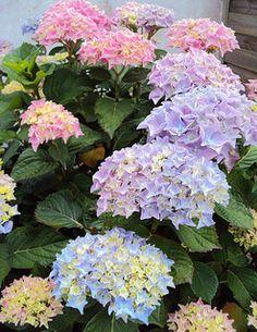 Pastel hortensia