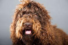 Beim Barbet handelt es sich um eine mittelgroße und kräftig wirkende Hunderasse, die eher selten anzutreffen ist. Hier mehr erfahren über den Barbet