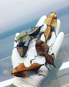 "9 Likes, 2 Comments - Rakshan Kangovi (@rakshankangovi) on Instagram: ""Deroplatys Truncata, a type of praying mantis which looks like leaves  #nature #green #amazing #i…"""
