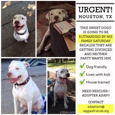 "Houston friends, another plea!!! *** URGENT!!! *** HOUSTON, TEXAS ~ TO BE EUTHANIZED BY HIS OWN FAMILY THIS SATURDAY!!! Super ""Monster"" Reggie the Deaf Pit Bull's momma was contacted for help and she needs your help to help this boy.  He is a beautiful dog who has done nothing wrong but will be killed if nobody steps up to help him. ~ Dog-friendly ~ Lives with kids ~ House trained  NEED AN ADOPTER OR RESCUE. Transport may be arranged. Please CONTACT adoptions@reggiesfriends.org"