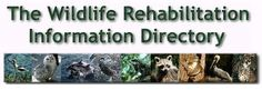 The Wildlife Rehabilitation Information Directory.  More info on how to find a rehabber in your area.