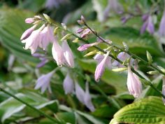 hosta flower - Google Search