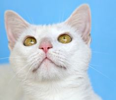 Marshmallow is a beautiful, pure white kitty.   She enjoys being petted and likes hanging out on the lanai.  Marshmallow is playful and enjoys toys on a string or fishing pole.  She would love a home where she could spend time with you on the lanai and bird watch together.  #whitecat #catadoption #sarasota