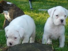 White boxer puppies