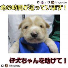 🆘🆘山口です‼️時間がありません‼️🆘 ‼️緊急‼️ #山口県 #犬 #子犬 #里親募集 #Repost @cham.0424 2月17日追記 相変わらず長門の保健所職員の対応は横柄です。この子は里親希望の方からのお声かけがあるようですが、まだお迎えはなく保健所へいます。また経過をお知らせさせて下さい。 * 2月16日追記 14日時点で面会をするとの話でしたが、この子まだ保健所にいます!仔犬ちゃん期限迫っています!家族になりたいという方は直接長門保健所へご連絡下さい!連絡先などの詳細は以下をご覧ください。長門の保健所は里親候補が居ても平気で愛護センター(殺処分場)に連れていくような場所です!もし、既に面会が決まっているとの返答がありましても、キャンセルの場合もありますため必ずキャンセルがあった際の連絡先をお伝え下さい。お願い致します! 里親希望のお声かけ頂きますが、引き出しをして下さる方が見つからないことが多く悩んでいます。そのことで命の希望が絶たれてしまうことが長門の保健所は多いです。もしも、引き出し→空輸などのお手伝いができる方がおりましたら、ダイレクトメール下さい。…