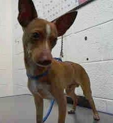 Safe BILLY (A1675316)I am a male tan and white Chihuahua - Smooth Coated mix. The shelter staff think I am about 1 year old. I was found as a stray and I may be available for adoption on 01/30/2015 — Miami Dade County Animal Services. https://www.facebook.com/urgentdogsofmiami/photos/pb.191859757515102.-2207520000.1422192644./916695341698203/?type=3&theater