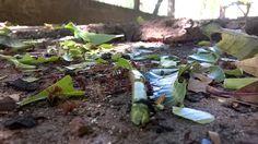Formigas Ataque - Folhas verdes foto: K/P