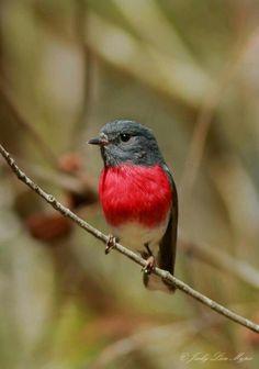 Rose Robin (Petroica rosea) is a small passerine bird native to Australia.