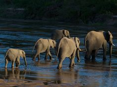 Elephants crossing the Sand River in the Mala Mala Game Reserve, South Africa | by Doug Croft