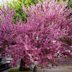 Pink/ tree/ beautiful /