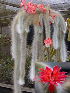 Hildewintera Colademononis * Stunning Monkey Tail Cactus Cacti And Succulents, Planting Succulents, Cactus Plants, Planting Flowers, Unusual Plants, Exotic Plants, Cool Plants, Cactus Care, Cactus Flower