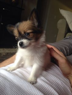 Delilah the papillon! Cute dog, great name!