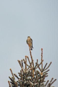 Merlin ©Steve Frye. Wild Bird Company - Boulder, CO, Saturday Morning Bird Walk in Boulder County - December 26, 2015.