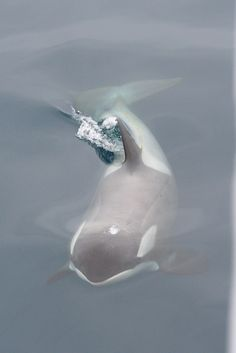 "deepblueseawhales: "" Gerlache Strait Orca (by edward_rooks) """