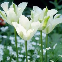 Standing out, award-winning Tulip 'Spring Green' is truly an unusual tulip with its amazing ivory-white flowers and soft green feathering. Fresh-looking, sturdy and reliable, its overall flower shape is cupped to about 3 inches across (7 cm). Blooming