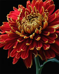Autumn Chyrsanthemum © April Siegfried