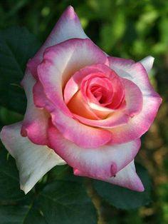 Lovely Multicolor Rose Flower.