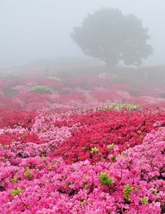 Oh my goodness! Look at all those pink azaleas in the fog with the tree in the background in the fog! Cool fog and LOTS of pink azaleas! Beautiful World, Beautiful Gardens, Beautiful Places, Pretty In Pink, Beautiful Flowers, All Nature, The Places Youll Go, Beautiful Landscapes, Mother Nature