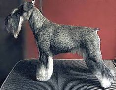 Step by step with pictures on hand stripping a Schnauzer