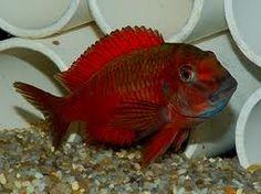 Tropheus Red