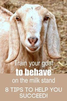You NEED these 8 tips if your goat won't stand still to be milked! You CAN train her to behave while on the milkstand, and these tips will help you succeed. Keeping Goats, Raising Goats, Fainting Goat, Female Goat, Goat Shelter, Goat Care, Boer Goats, Nigerian Dwarf Goats, Goat Farming