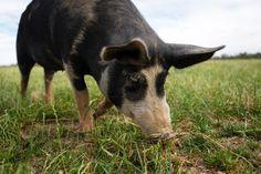 Bundarra Berkshires pig farm, Australa.