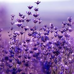 Lavender fragrance oil by Natures Garden scents is a relaxing scent that is the aroma of real lavender flowers.You will love our wholesale fragrances. Cupcake Bath Bombs, Fizzy Bath Bombs, Bath Bombs Scents, Lavender Scent, Lavender Flowers, Purple Flowers, Lavender Fields, Aroma Beads, To Color