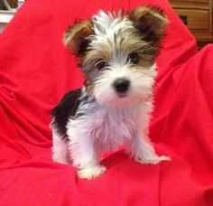 Teacup Parti Yorkie For Sale Yorkie puppy for sale