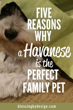 A Havanese is the perfect family pet! Source by blessingbydesign The post 5 Reasons Havanese is Perfect Family Pet appeared first on Gwen Howarth Dogs. Havanese Grooming, Havanese Puppies, Baby Puppies, Dog Grooming, Cute Puppies, Havanese Haircuts, Mini Puppies, Puppies Tips, Retriever Puppies