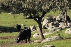 Safari de #toros #bravos entre #dehesas #turismo #Extremadura