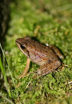 The North American wood #frog literally freezes during the winter season and is able to withstand temperatures as low as 21 degrees F. (-6 C). Photo by Seabrooke Leckie.