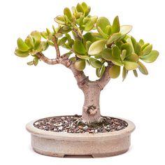 Money tree (Crassula ovata) as bonsai stock photo
