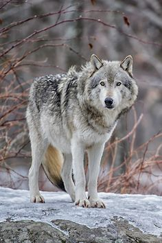 . #wolf #wolves #animals