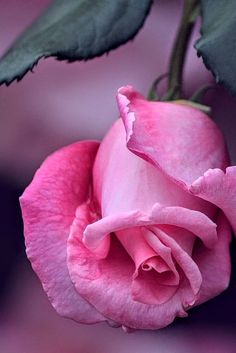 A pink rose Beautiful Rose Flowers, Pretty Roses, Flowers Nature, Exotic Flowers, Amazing Flowers, Pink Roses, Pink Flowers, Flower Wallpaper, Belle Photo
