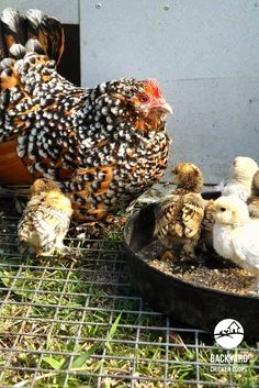 A Belgian d'Uccle keeping a watchful eye on her baby chicks. This delightful chook would make a perfect addition to any backyard flock! Get to know more about this charming breed here, http://www.backyardchickencoops.com.au/5-reasons-to-love-belgian-duccle-chickens #loveyourchickens #motherhen #BelgiandUccleChickens