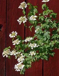 Viburnum opulus  Koiranheisi